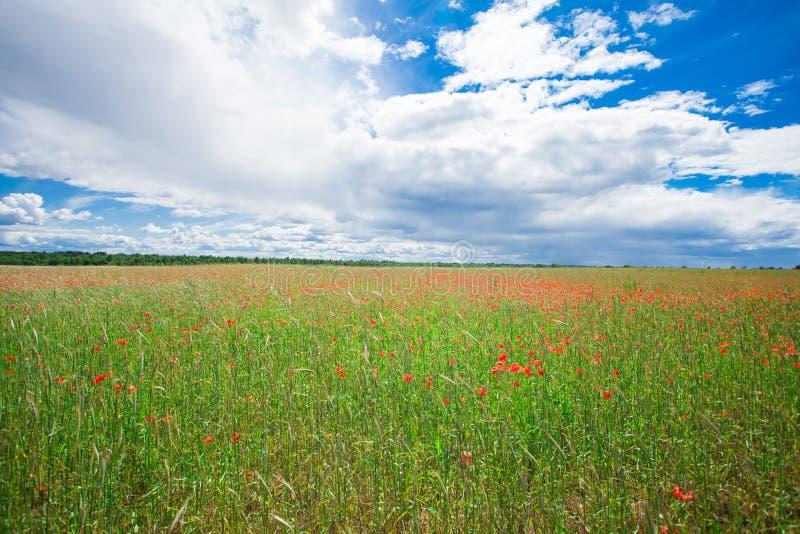 Les pavots rouges de fleurs fleurissent sur le champ sauvage vert mai avec le ciel bleu et les nuages photo stock