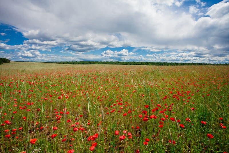 Les pavots rouges de fleurs fleurissent sur le champ sauvage vert mai avec le ciel bleu et les nuages images stock