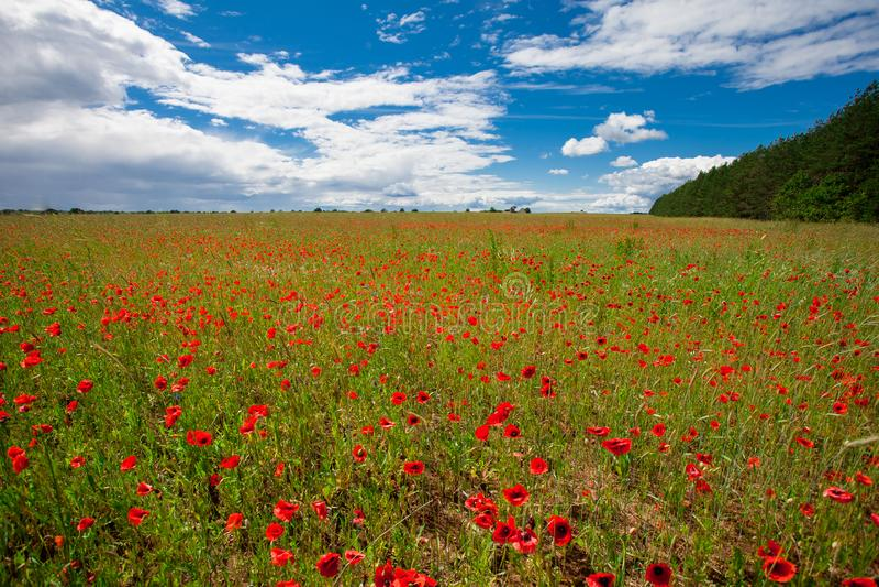 Les pavots rouges de fleurs fleurissent sur le champ sauvage vert mai avec le ciel bleu et les nuages image libre de droits