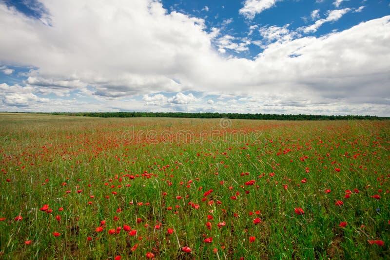 Les pavots rouges de fleurs fleurissent sur le champ sauvage vert mai avec le ciel bleu et les nuages photos libres de droits