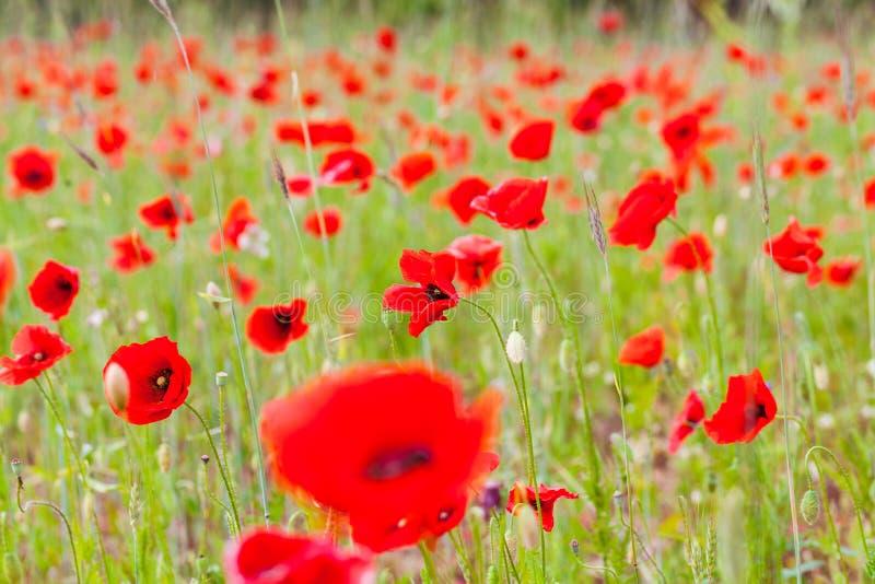 Les pavots rouges de fleurs fleurissent sur le champ sauvage vert mai avec le foyer sélectif et les effets doux de tache floue de photos stock