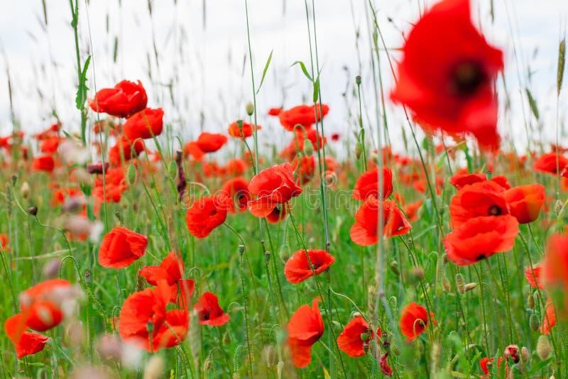 Les pavots rouges de fleurs fleurissent sur le champ sauvage vert mai avec le foyer sélectif et les effets doux de tache floue de photos libres de droits
