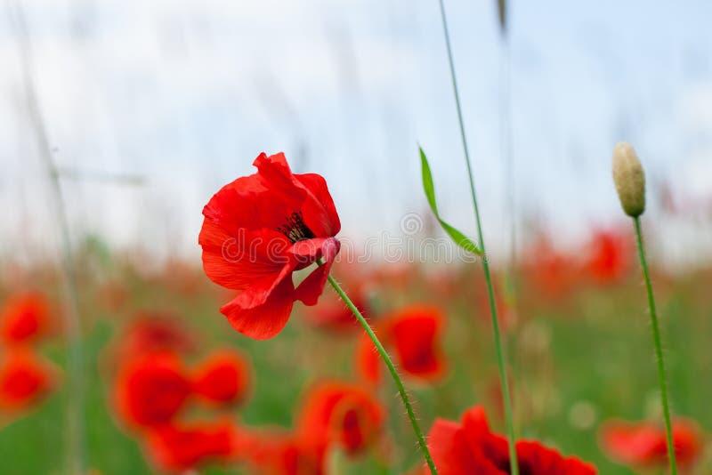Les pavots rouges de fleurs fleurissent sur le champ sauvage vert mai avec le foyer sélectif et les effets doux de tache floue de images libres de droits