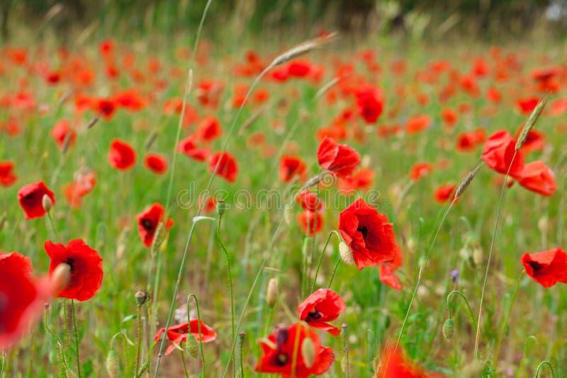 Les pavots rouges de fleurs fleurissent sur le champ sauvage vert mai avec le foyer sélectif et les effets doux de tache floue de photographie stock