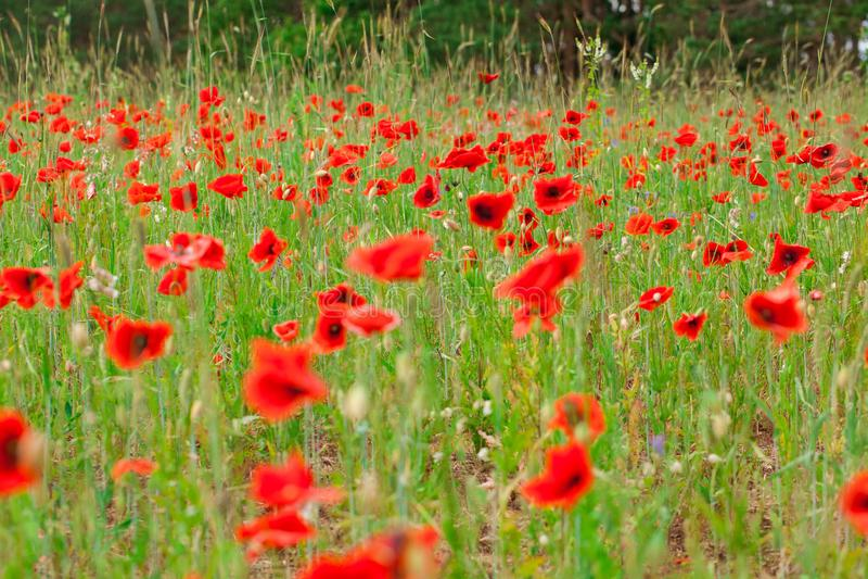 Les pavots rouges de fleurs fleurissent sur le champ sauvage vert mai avec le foyer sélectif et les effets doux de tache floue de image libre de droits