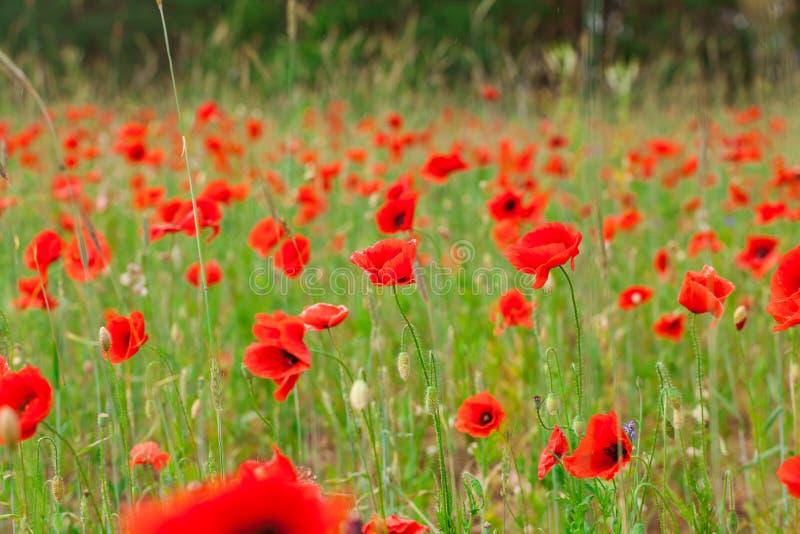 Les pavots rouges de fleurs fleurissent sur le champ sauvage vert mai avec le foyer sélectif et les effets doux de tache floue de photo libre de droits