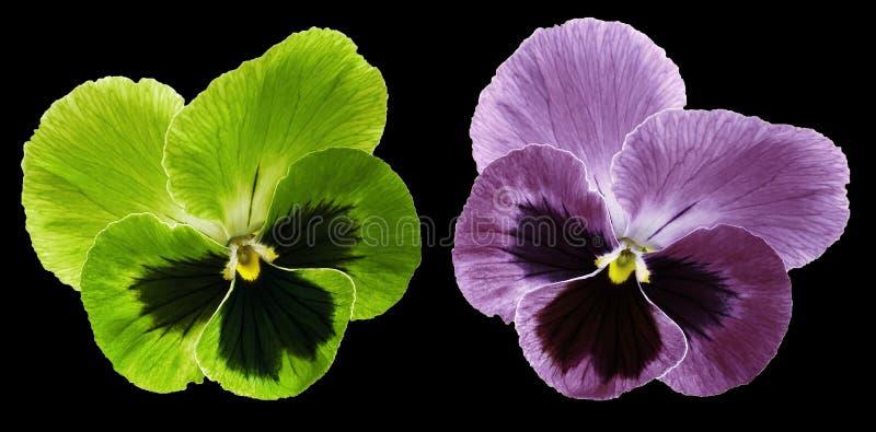 Les pensées vertes et la fleur violette sur le noir ont isolé le fond avec le chemin de coupure Plan rapproché aucune ombres images libres de droits