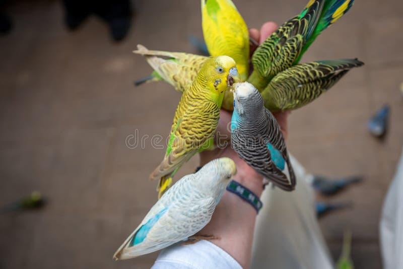 Les perruches luttent pour la nourriture sur la main masculine photographie stock libre de droits