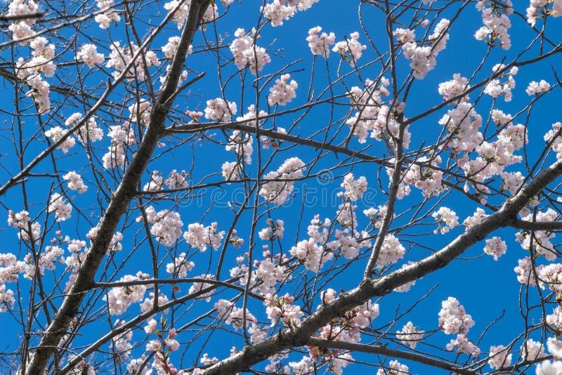 Les petites fleurs blanches de ressort fleurissent une journée de printemps chaude et douce, contre un beau ciel bleu images libres de droits