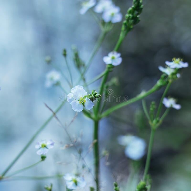 Les petites fleurs blanches du plantain d'eau, ou Alisma sur un fond brouillé bleu Les rayons du soleil tombent sur les fleurs photo libre de droits