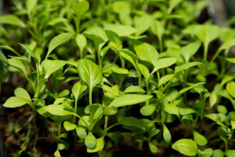 Les petites jeunes plantes des fleurs de pétunia se développent dans un plateau pour la culture photo libre de droits