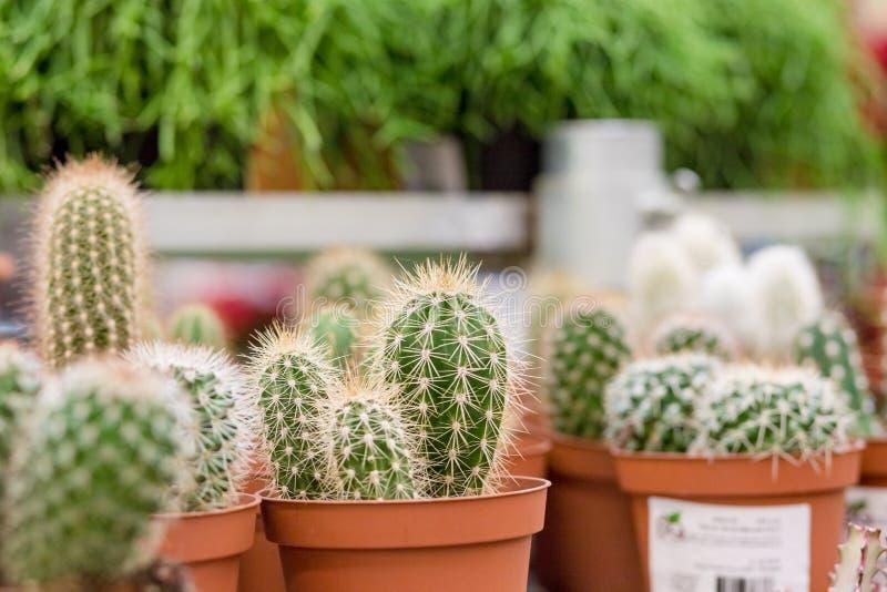 Les petites usines de cactus, succulentes et de haworthia sur l'idée de pots et d'affichage de fleur devant des cactus font des e images libres de droits