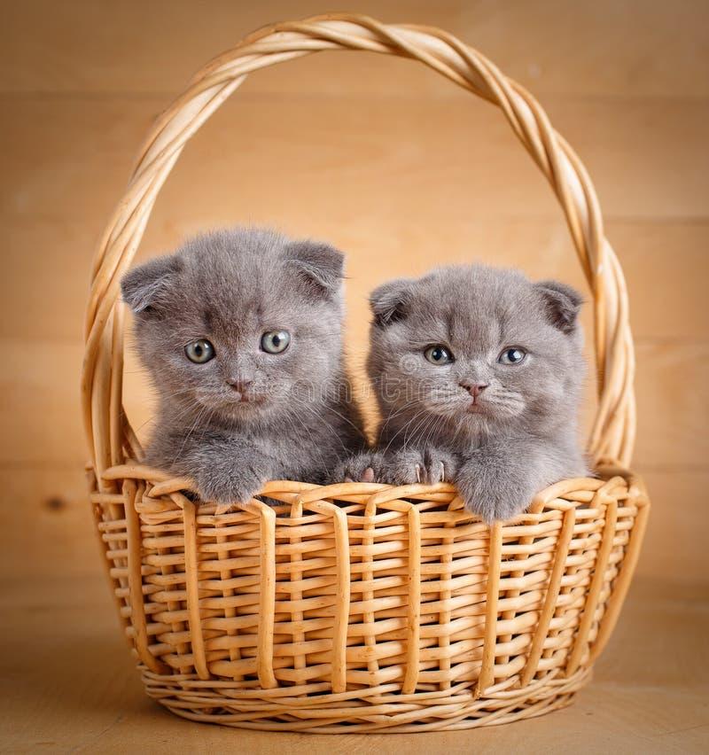 Les petits écossais drôles plient des chatons se reposant dans le panier photographie stock