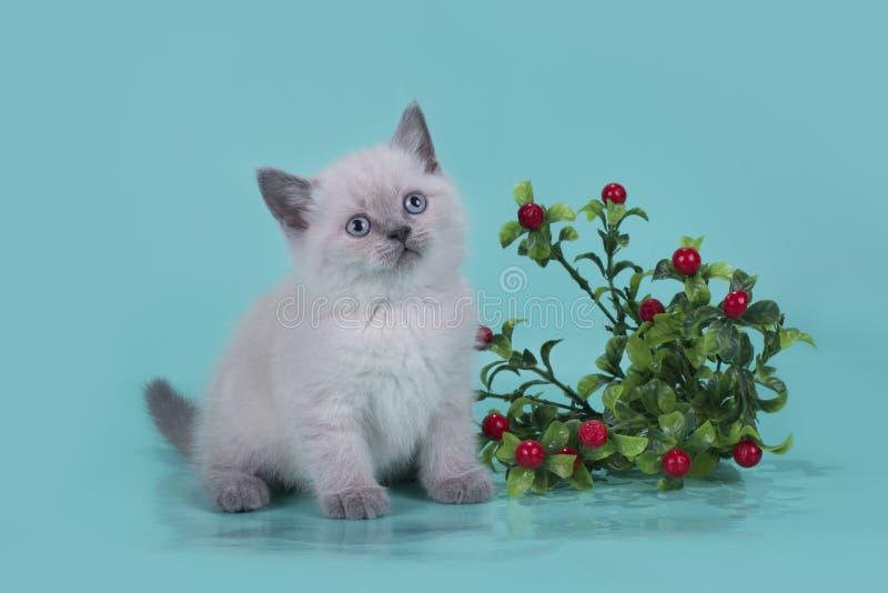 Les petits écossais plient le chaton sur un fond coloré photo libre de droits