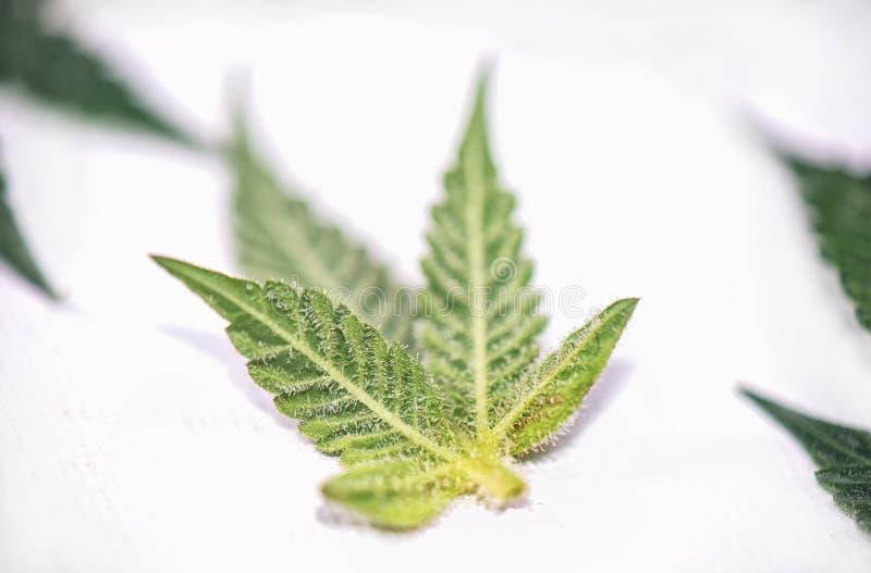 Les petits cannabis poussent des feuilles avec des trichomes au-dessus du backgroun blanc photos stock