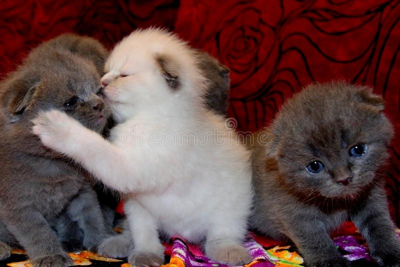 Les petits chatons britanniques mignons se reposent sur le sofa le chaton étreint et embrasse le frère, de petits espiègles sont  photo stock