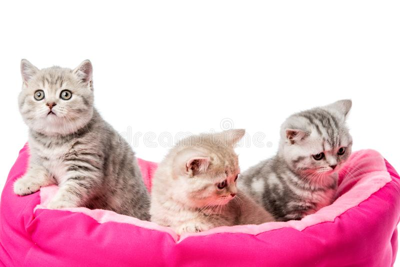 les petits chatons pelucheux adorables se reposant chez le chat enfoncent photographie stock libre de droits