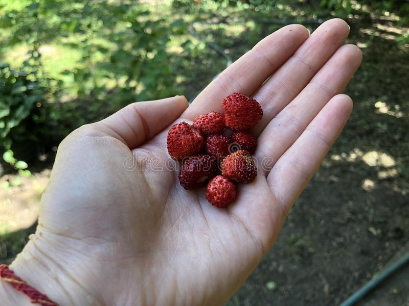 Les petits fraisiers communs cueillis à la main s'étendent à disposition images stock