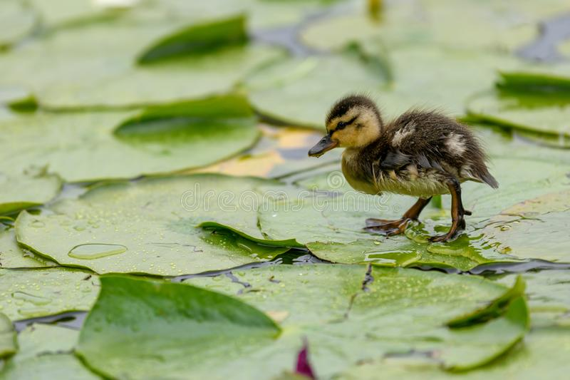 Les petits platyrhynchos mignons d'ana d'un caneton de Mallard est marchant ou courant sur les feuilles de lotus sur l'étang image libre de droits