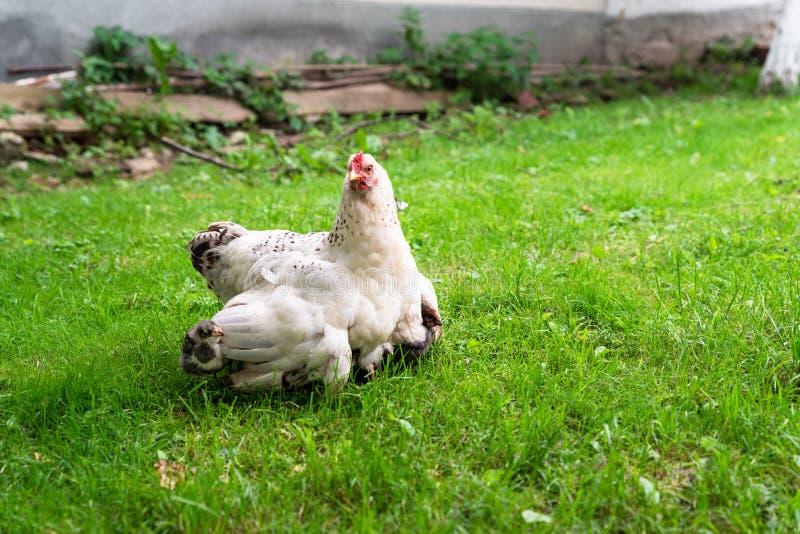 Les petits poussins se cachent sous les ailes du poulet de mère image stock