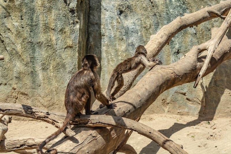 Les petits singes espiègles grimpent à des arbres photographie stock libre de droits