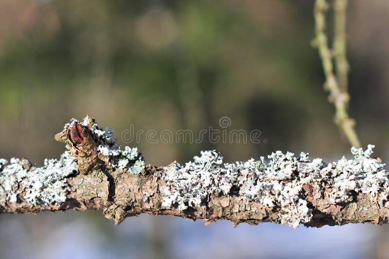 Les physodes de Hypogymnia lichenized des champignons s'?levant sur une branche photographie stock