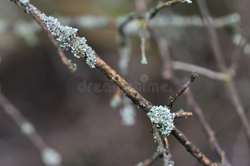 Les physodes de Hypogymnia lichenized des champignons s'?levant sur une branche photos stock
