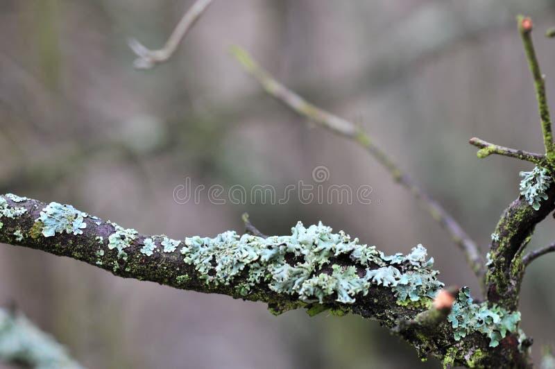 Les physodes de Hypogymnia lichenized des champignons s'?levant sur une branche image stock