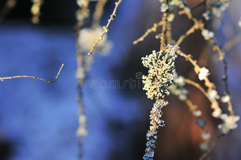 Les physodes de Hypogymnia lichenized des champignons s'?levant sur une branche photographie stock libre de droits