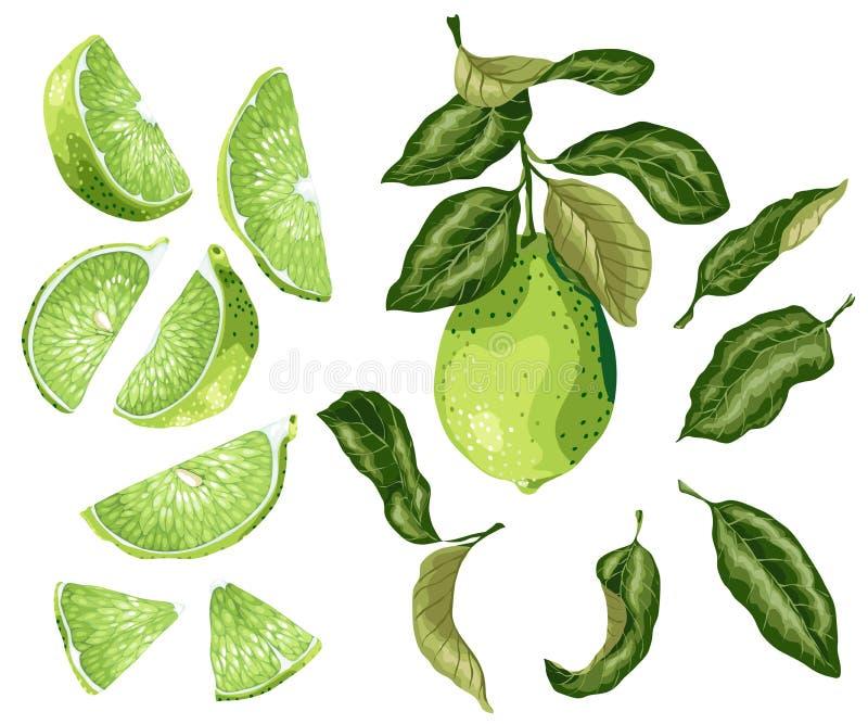 Les pièces de chaux ont placé avec le fruit de chaux sur la branche, les feuilles, moitié d'a illustration stock