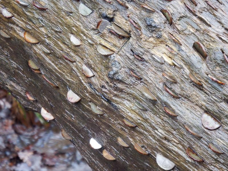Les pièces de monnaie ont martelé dans un arbre tombé image libre de droits