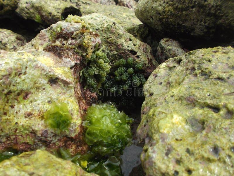 Les pierres ont couvert d'algue sur la côte de l'île de tortue au Venezuela photo libre de droits