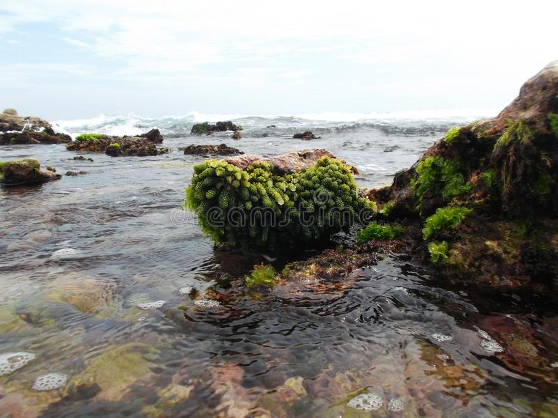 Les pierres ont couvert d'algue sur la côte de l'île de tortue au Venezuela photos stock