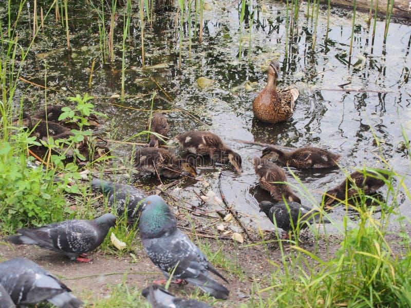 Les pigeons et une couvée des canards sauvages picotent le pain Observation de canard image stock