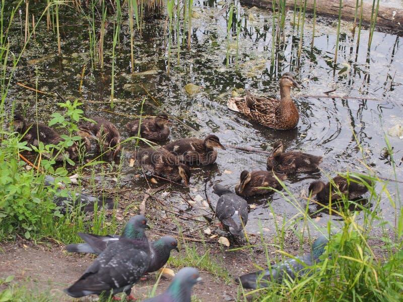 Les pigeons et une couvée des canards sauvages picotent le pain Observation de canard photo libre de droits