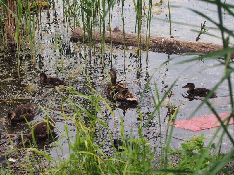 Les pigeons et une couvée des canards sauvages picotent le pain Observation de canard photographie stock libre de droits
