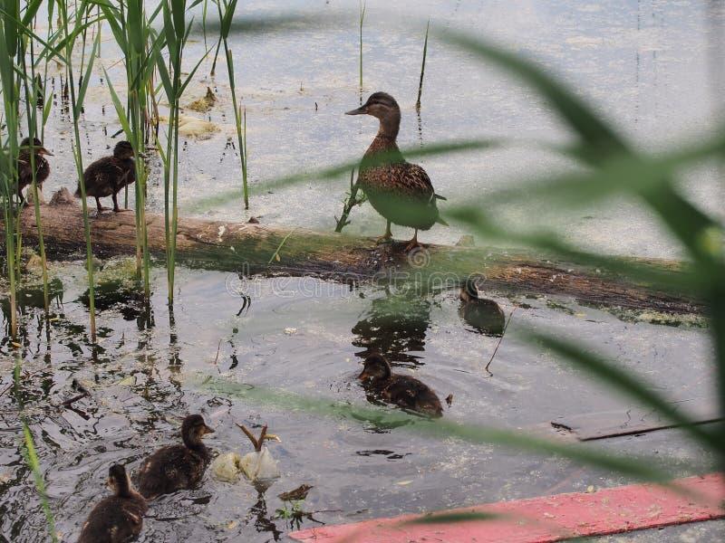 Les pigeons et une couvée des canards sauvages picotent le pain Observation de canard photos libres de droits