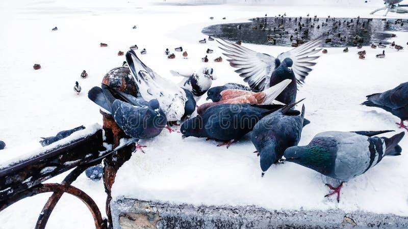 Les pigeons mangent le grain sur une barrière près d'un lac couvert de neige où les canards nagent photographie stock