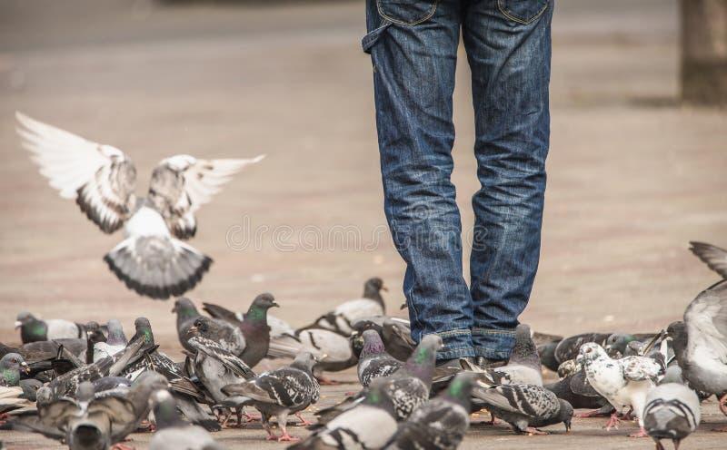 Les pigeons marchent et volent autour des jambes d'un homme tout en mangeant de la nourriture qu'il leur donne photos libres de droits