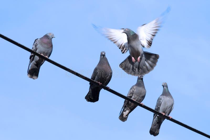 Les pigeons se reposent sur le fil photo libre de droits