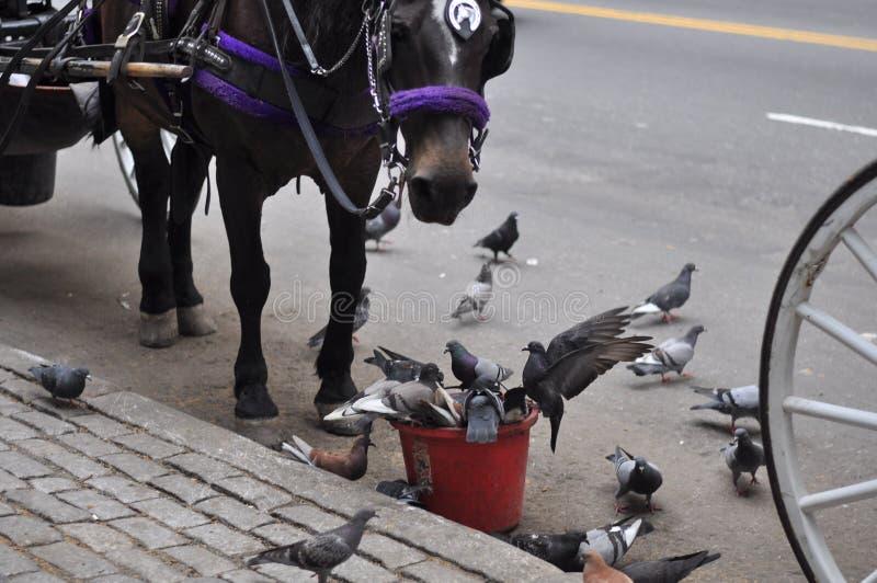 Les pigeons volent ma nourriture ! ! image libre de droits