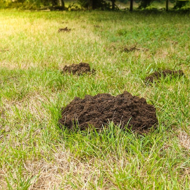 Les piles de la terre faites par une taupe ont abîmé la pelouse photographie stock libre de droits