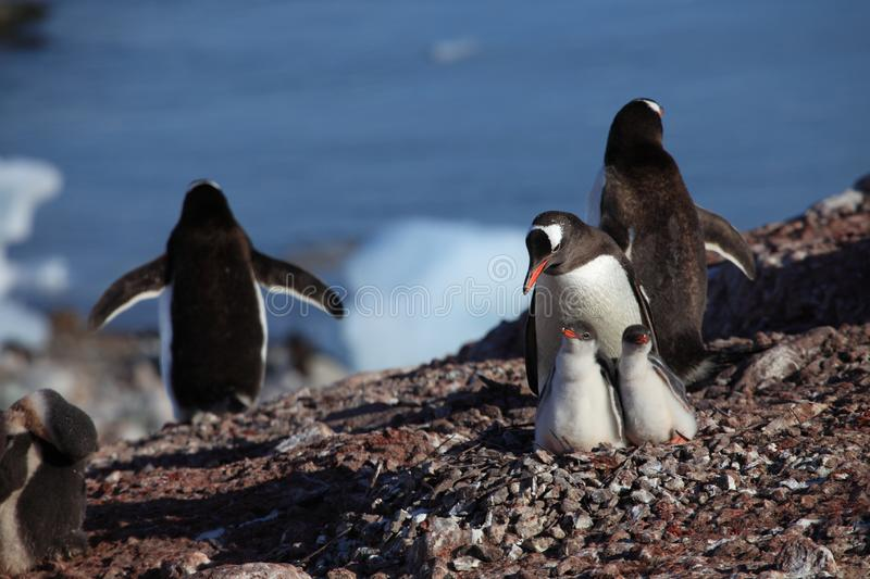 Les pingouins chez l'Antarctique photo stock