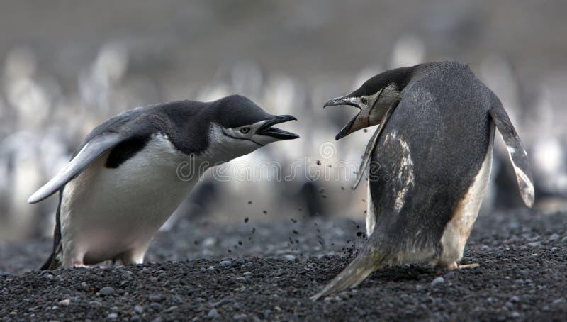 Les pingouins d'ANTARCTIQUE de conflit image libre de droits