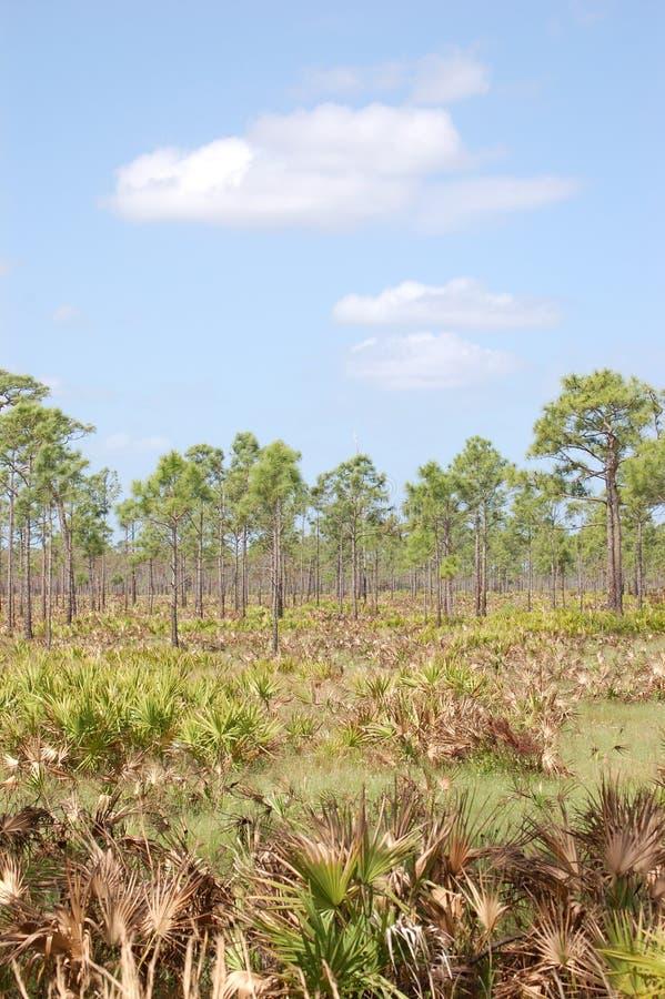 Les pins de barre de fraction ont dedans vu des terres plates de Palmetto photo stock