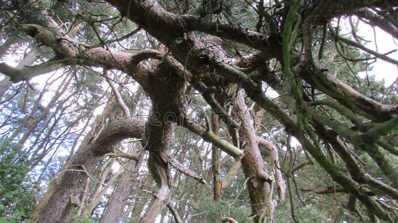 Les pins des scot noueux photos stock