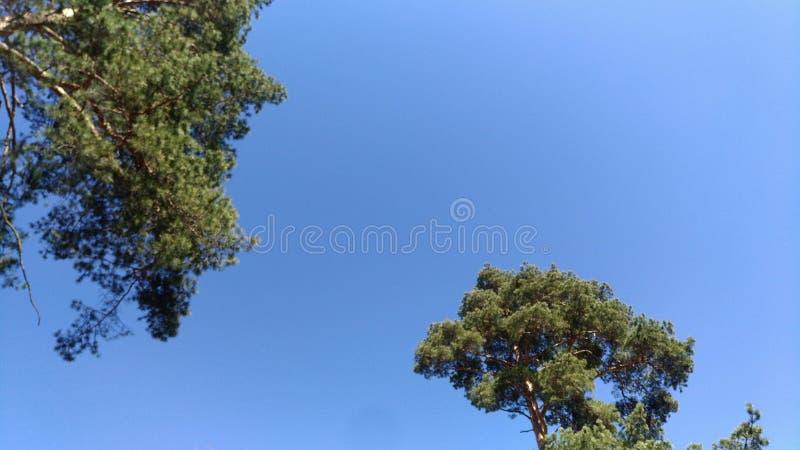 Les pins tendent au ciel, abstraction de fond, carte postale photos libres de droits
