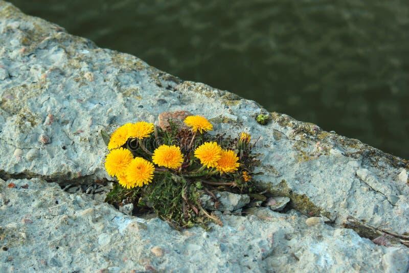 Les pissenlits jaunes se d?veloppent sur des pierres ? un bord de la mer image libre de droits