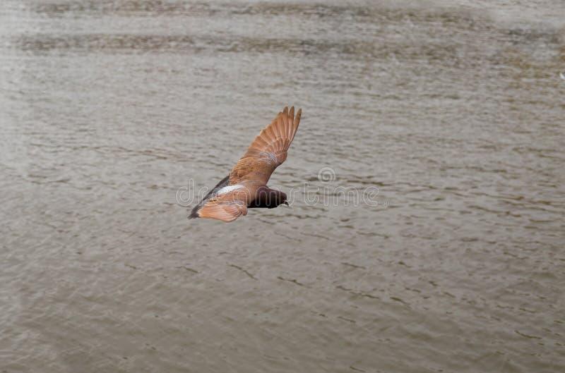 Les plans de vol de pigeon de Brown sont largement les ailes tendues images libres de droits