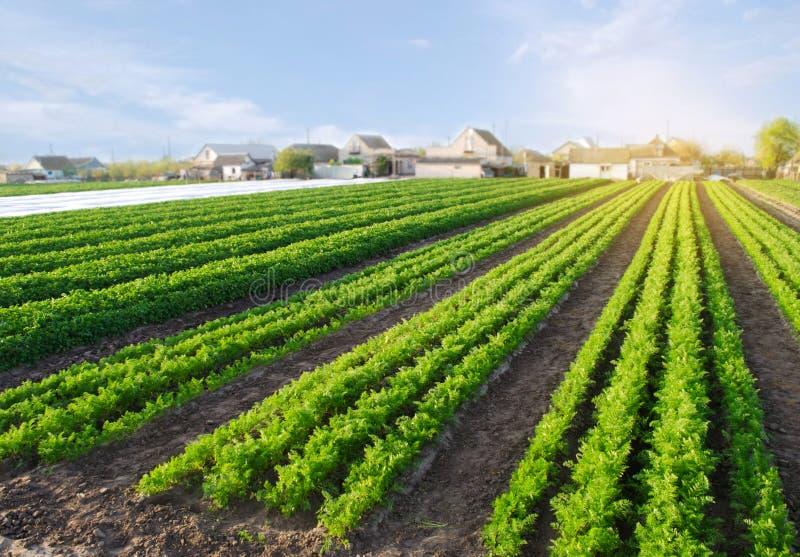 Les plantations de carotte se d?veloppent dans le domaine rang?es v?g?tales L?gumes grandissants Ferme Paysage avec la terre agri photos stock